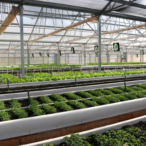 Photo: Seedlings growing in a greenhouse