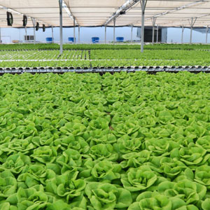 Photo: Lettuce growing in a greenhouse