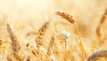 Photo: Wheat