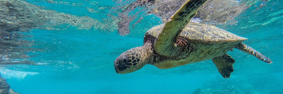 Photo: Sea Turtle swimming under water