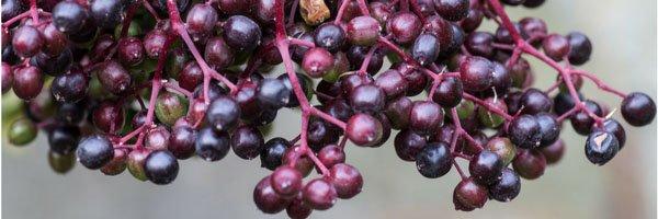 Photo: Elderberry