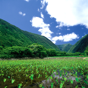 Photo: Taro Farm