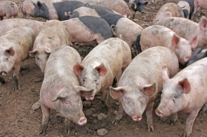 Photo: Pigs on a Factory Farm