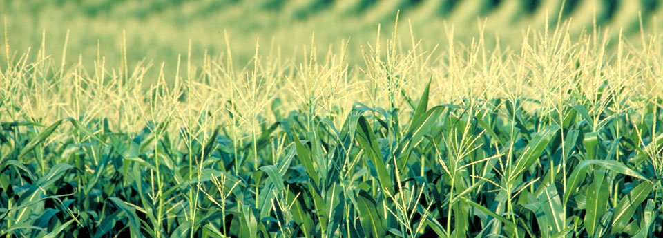 Photo: Corn Growing in a Field