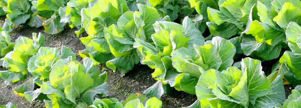 Photo: Garden with Fresh Lettuce