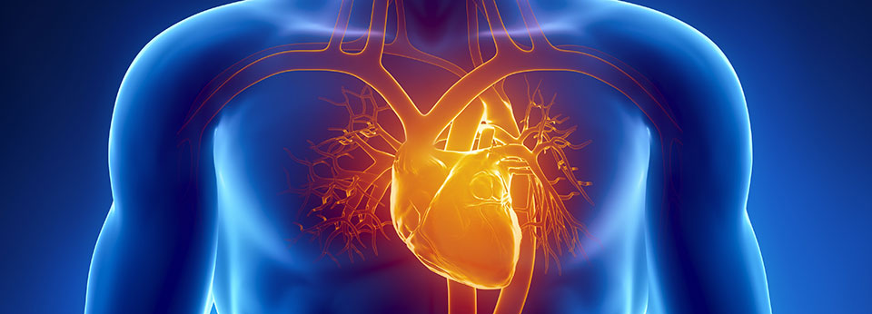 Illustration Showing Human Heart