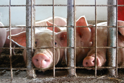 Photo: Pigs in a Holding Pen