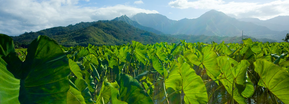 Photo: Taro Field in Hawaii